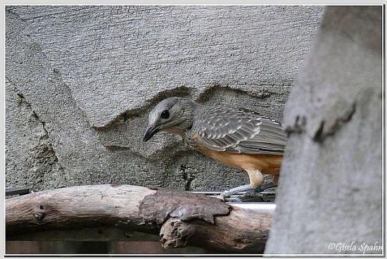 Braunbauch-Laubenvogel