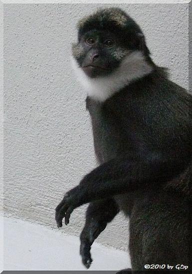 Nigeria-Rotbauchmeerkatze