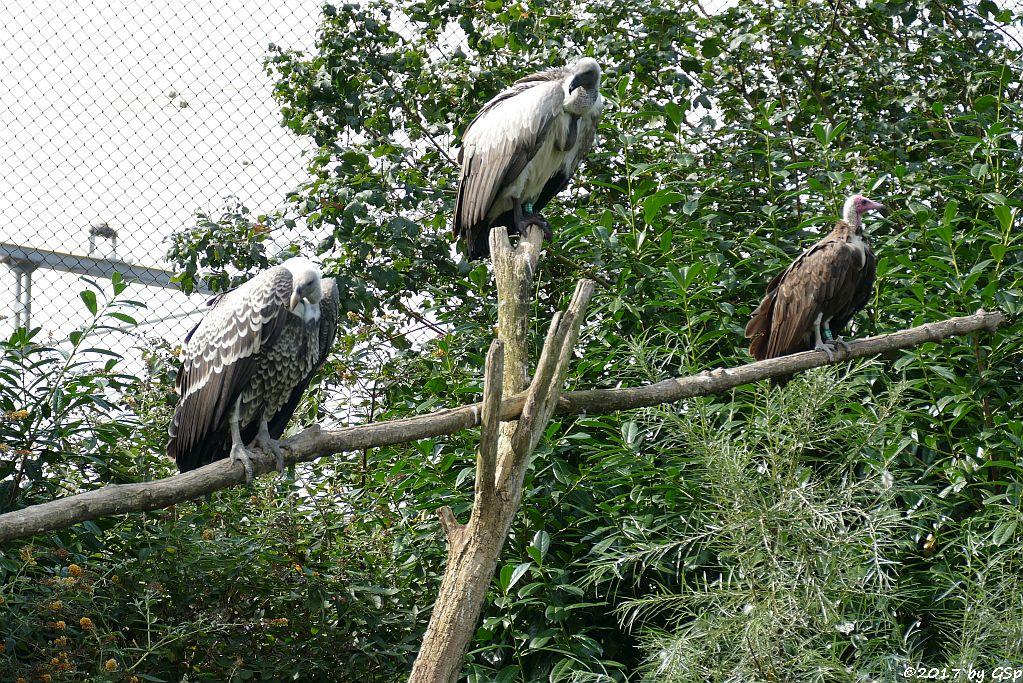Sperbergeier (Rüppellgeier), Weißrückengeier (Zwerggänsegeier), Kappengeier