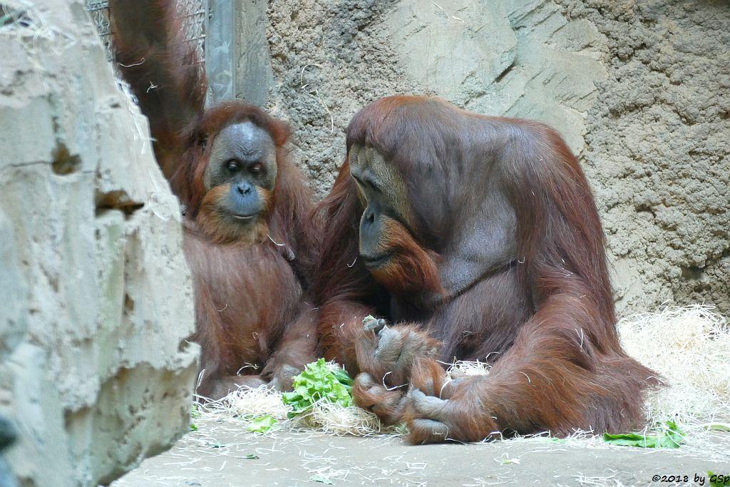 Sumatra-Orang-Utan ROSA und KEMBALI