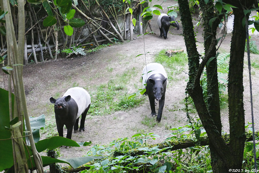 Schabrackentapir (Malaysischer Tapir) COPASIH, LAILA und KETIGA
