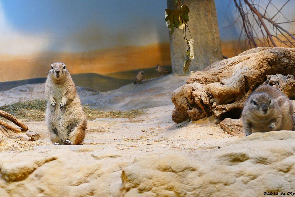 Kap-Borstenhörnchen, Siedelweber (Siedelsperling)