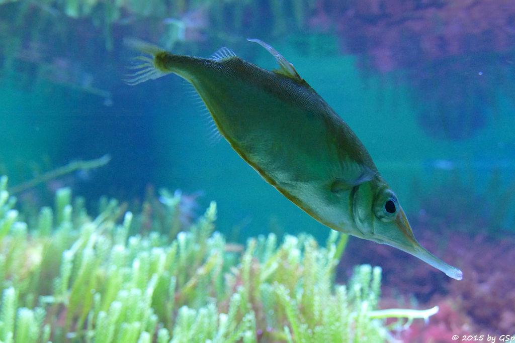 Gewöhnlicher Schnepfenfisch