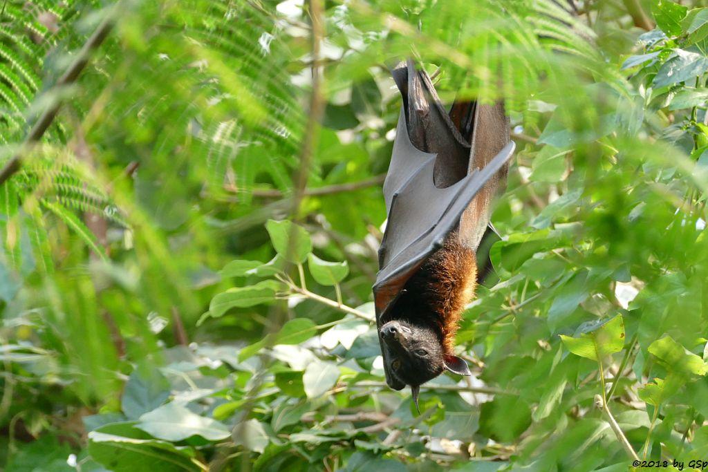 Kalong (Kalong-Flughund, Sumatra-Inselflughund, Malaiischer Riesenflughund)