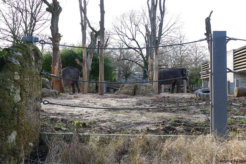 Asiatischer Elefant PAMA un ZELLA