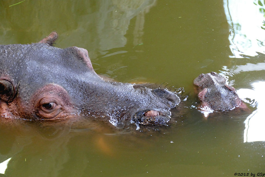 Flusspferd Kathy mit Sohn Karl Wilhelm - 47 Fotos