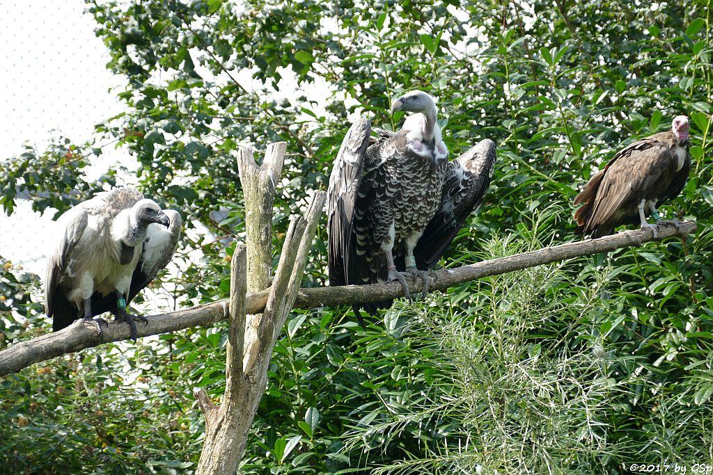 Weißrückengeier (Zwerggänsegeier), Sperbergeier (Rüppellgeier), Kapengeier