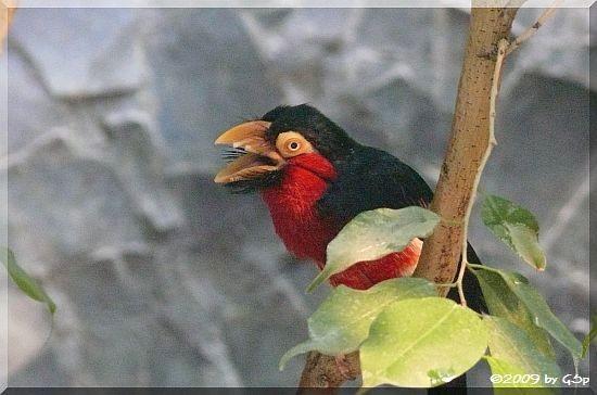 Furchenschnabel-Bartvogel