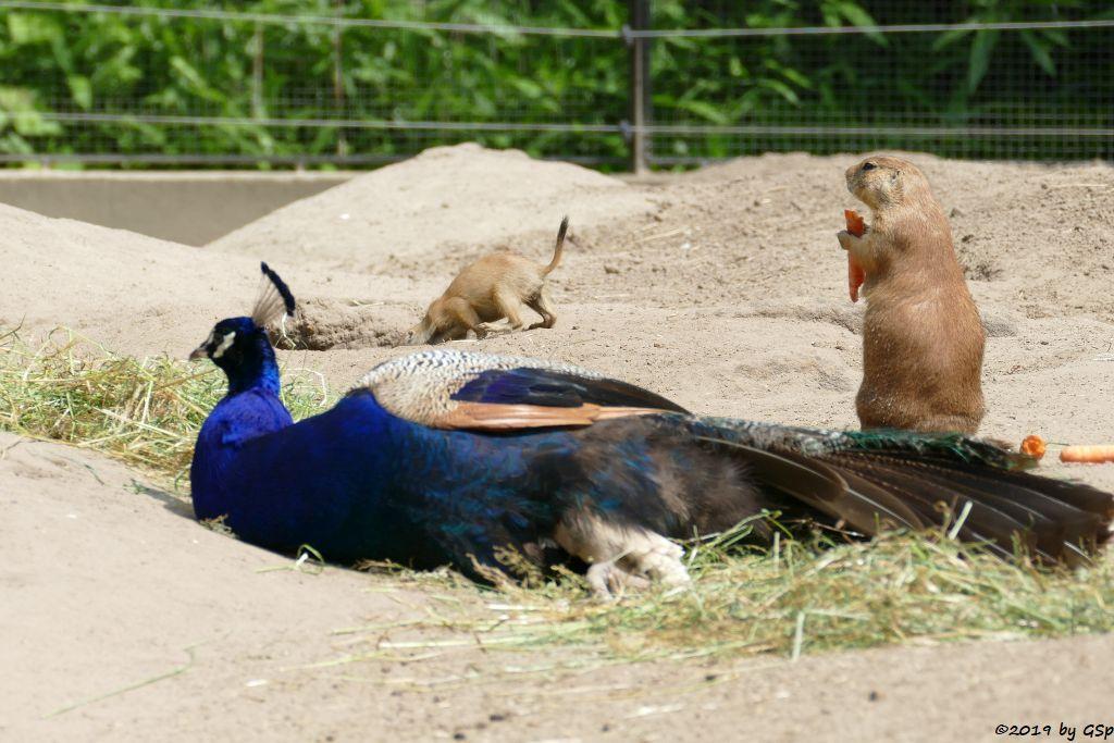 Blauer Pfau, Schwarzschwanz-Präriehund