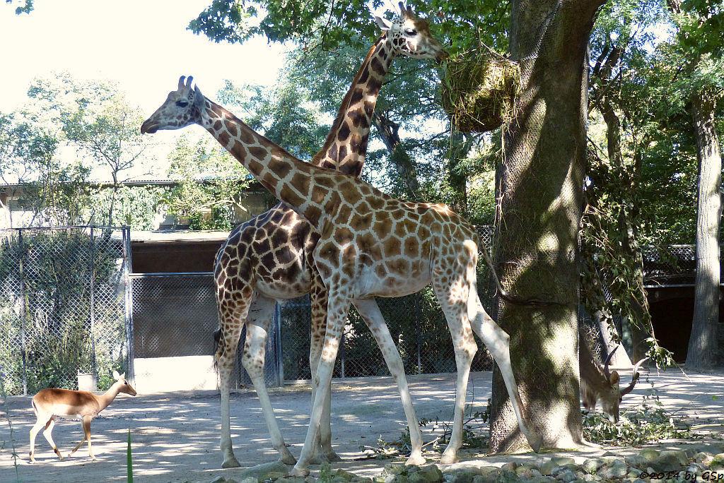 Impala, Rothschild-Giraffe
