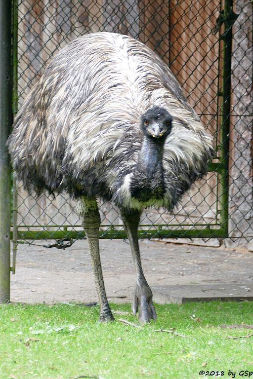 Emu (Großer Emu)