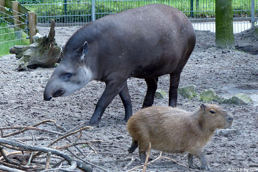 Flachlandtapir, Capybara