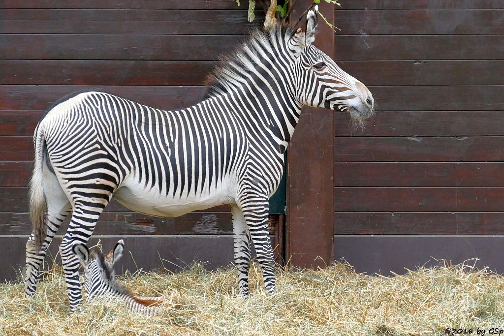 Grévy-Zebra, Jungtier TROPI geb. am 21.11.17