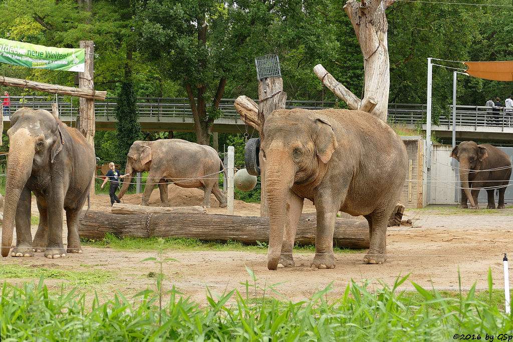 Asiatischer Elefant  RANI, NANDA, SHANTI, JENNY