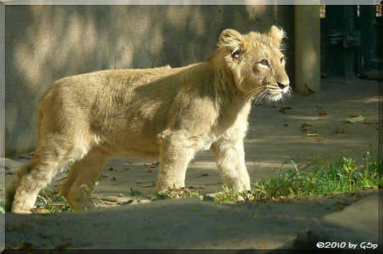 Asiatischer Löwe, geb. am 13.05.10