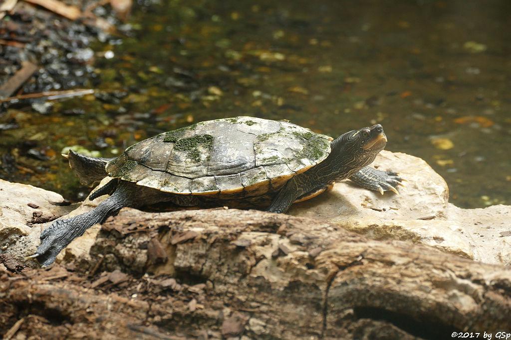 Buchstaben-Schmuckschildkröte