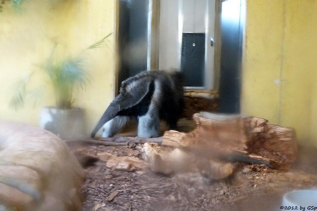 Ameisenbär YAVI, geb. 12.8.11 im Artis-Zoo Amsterdam, seit 8.11.12 in Köln