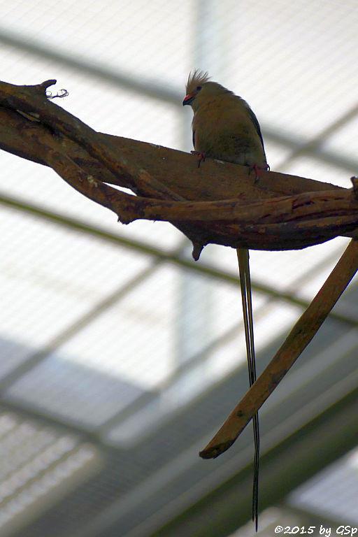 Blaunackenmausvogel