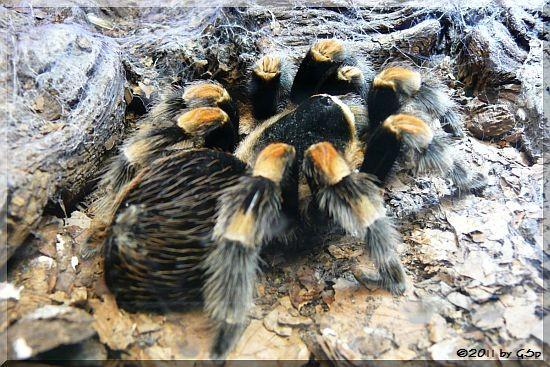 Mexikanische Rotbeinvogelspinne