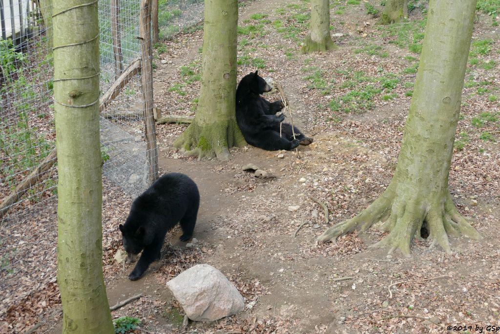 Baribal (Amerikanischer Schwarzbär)