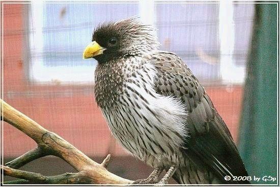 Schwarzschwanzlärmvogel