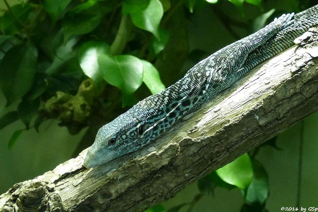 Blaugefleckter Baumwaran (MacRaes Baumwaran)