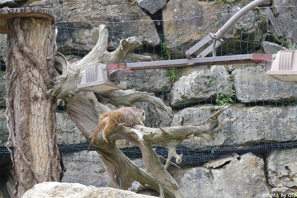 Erdmännchen (Surikate)