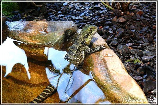 Australische Wasseragamae