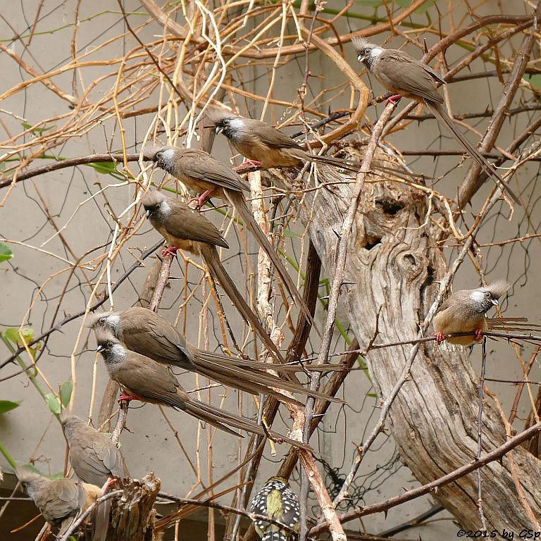 Gestreifter (Braunflügel-, Silberwangen-) Mausvogel