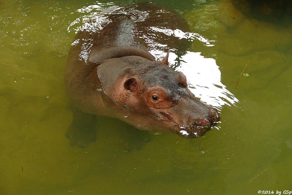 Flusspferd KARL WILHELM (1 Jahr alt)