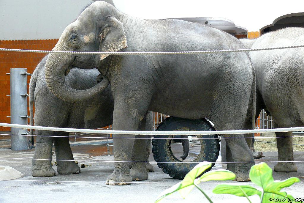 Asiatischer Elefant