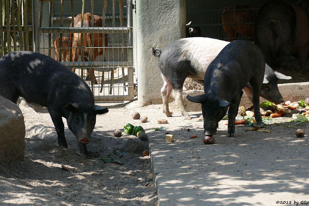 Angler-Sattelschwein, Zwergzebu