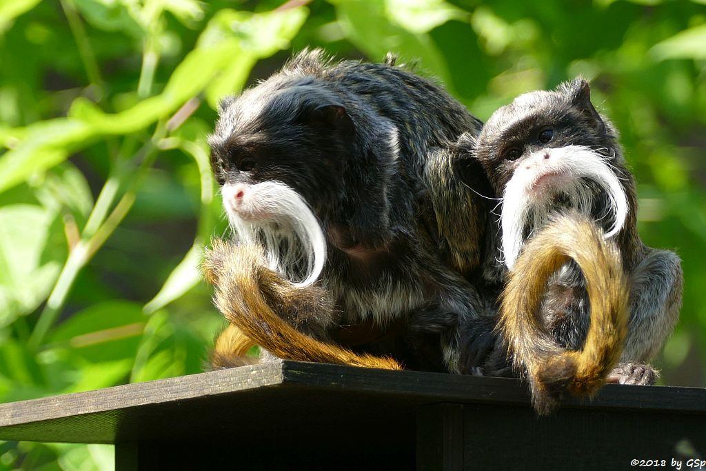 Rotschwänziger Kaiserschnurrbarttamarin, Jungtiere geb. 10.4.18 (6 Wochen alt)
