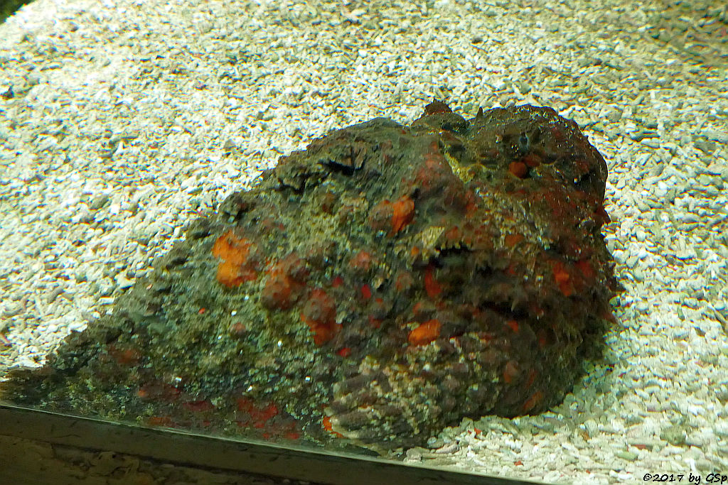 Echter Steinfisch (Gewöhnlicher Steinfisch)