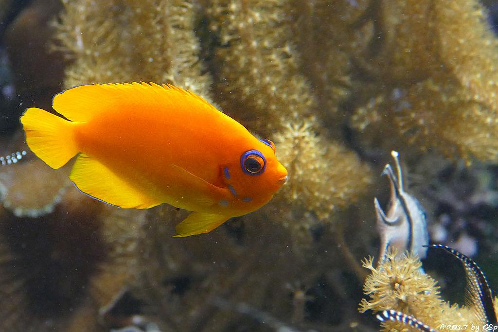 Zitronen-Zwergkaiserfisch (Zitronenherzogfisch)