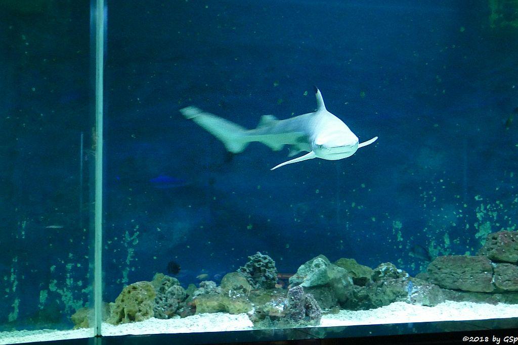 Schwarzspitzen-Riffhai