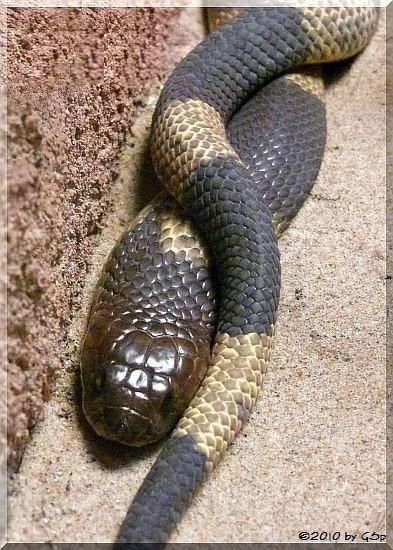 Gebänderte Kobra