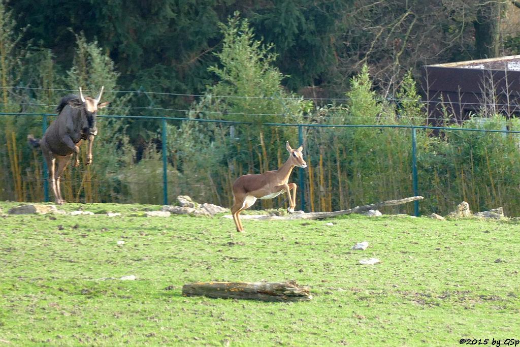 Streifengnu, Impala (Schwarzfersenantilope)