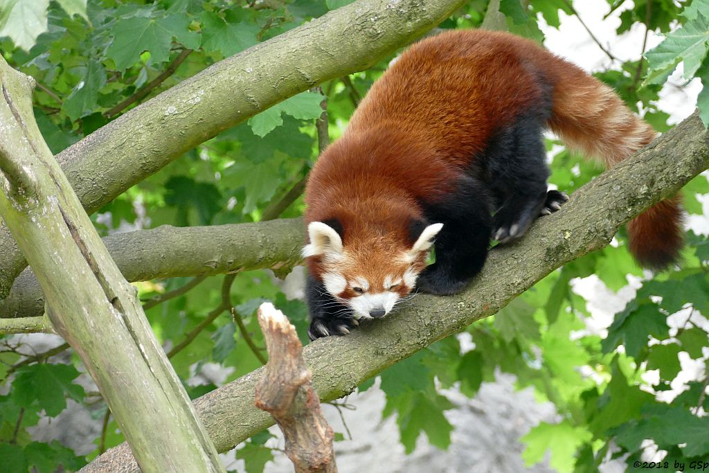 Westlicher Kleiner Panda (Westlicher Katzenbär, (Nepalesischer Katzenbär, Nepalesischer Roter Panda)