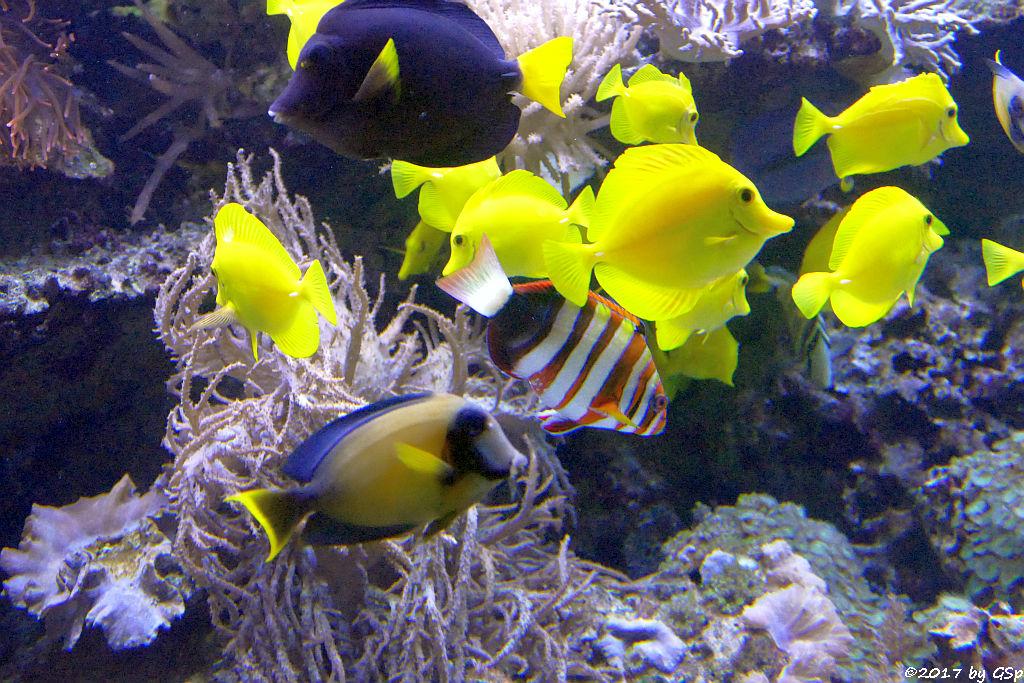Blauer Segelflossen-Doktorfisch, Gelber Segelflossen-Doktorfisch, Schokoladen-Doktorfisch