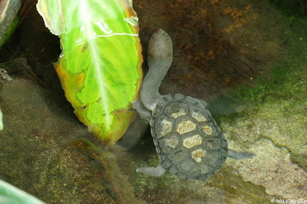 Australische Schlangenhalsschildkröte