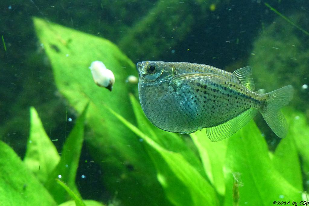 Gefleckter Beilbauchfisch