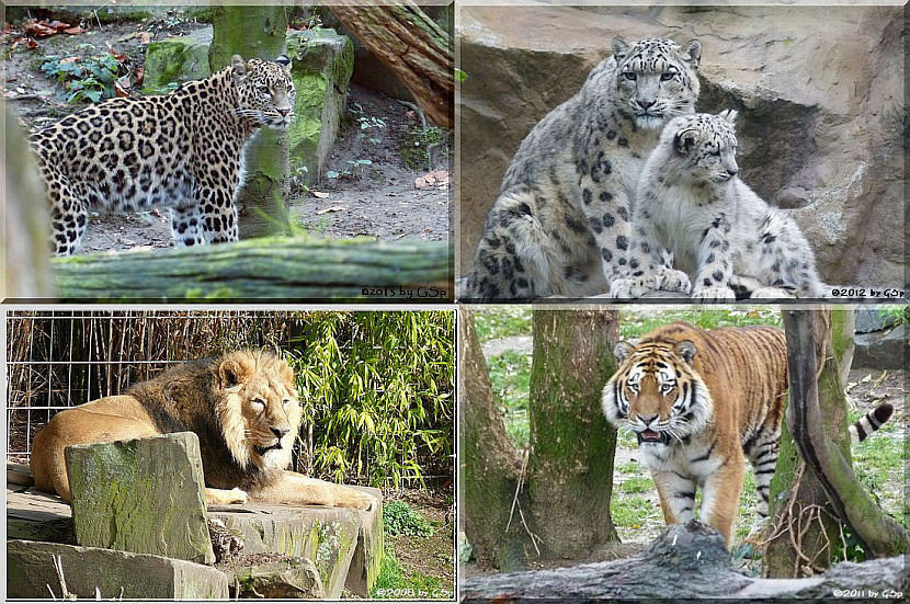 Großkatzen - 80 Fotos