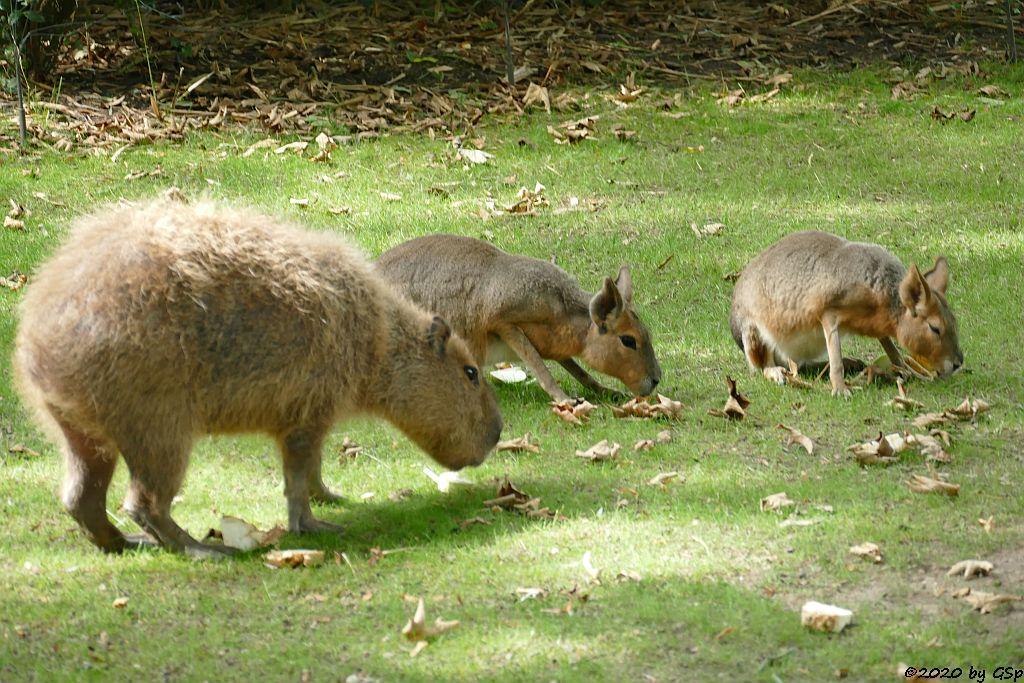 Wasserschwein (Capybara), Großer Pampashase (Große Mara, Großer Mara)