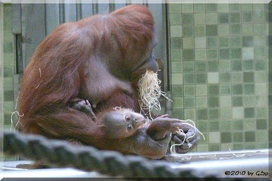 Sumatra-Orang-Utan BINI m. BULAN, geb. 20.09.09