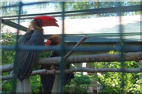 Feuerhornvogel
