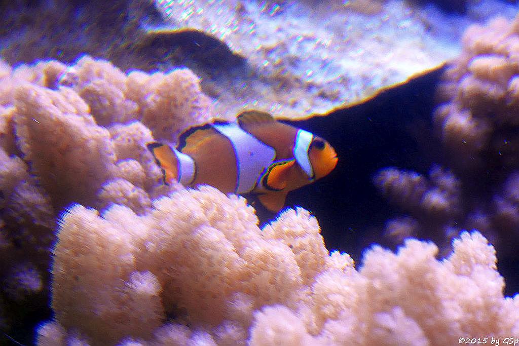 Orangeringel-Anemonenfisch (Westl. Clownfisch)
