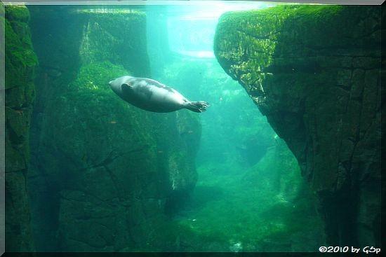 Seehund in der Seeotter-Anlage