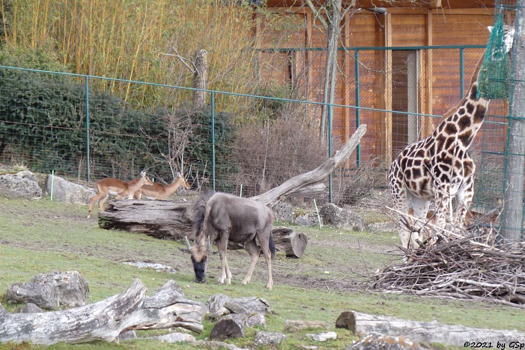 Impala (Schwarzfersenantilope), Südliches Streifengnu (Blaues Gnu), Rothschildgiraffe (Uganda-Giraffe, Baringo-Giraffe)