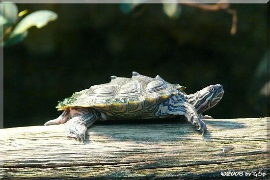Sägerückenschildkröte